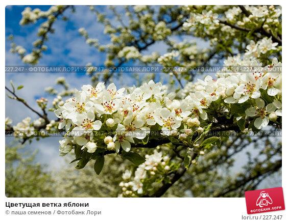 Купить «Цветущая ветка яблони», фото № 227247, снято 10 мая 2007 г. (c) паша семенов / Фотобанк Лори