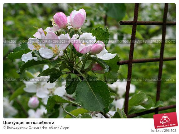 Цветущая ветка яблони, фото № 296503, снято 18 мая 2008 г. (c) Бондаренко Олеся / Фотобанк Лори