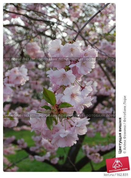 Цветущая вишня, фото № 162831, снято 20 апреля 2006 г. (c) Алёна Фомина / Фотобанк Лори