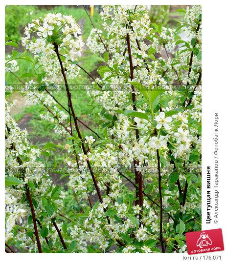 Цветущая вишня, эксклюзивное фото № 176071, снято 25 июня 2017 г. (c) Александр Тараканов / Фотобанк Лори