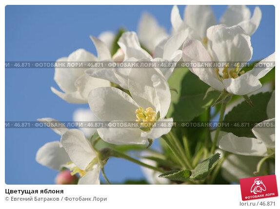 Купить «Цветущая яблоня», фото № 46871, снято 18 мая 2007 г. (c) Евгений Батраков / Фотобанк Лори