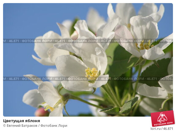 Цветущая яблоня, фото № 46871, снято 18 мая 2007 г. (c) Евгений Батраков / Фотобанк Лори