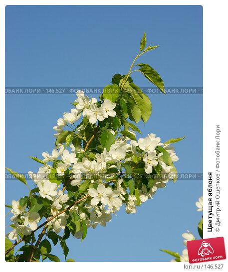 Цветущая яблоня, фото № 146527, снято 19 мая 2007 г. (c) Дмитрий Ощепков / Фотобанк Лори