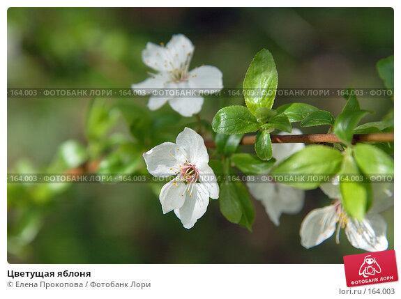 Цветущая яблоня, фото № 164003, снято 25 июля 2017 г. (c) Елена Прокопова / Фотобанк Лори