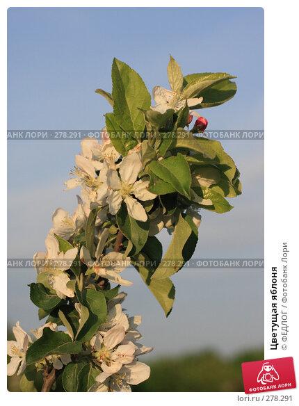 Цветущая яблоня, фото № 278291, снято 8 мая 2008 г. (c) ФЕДЛОГ.РФ / Фотобанк Лори