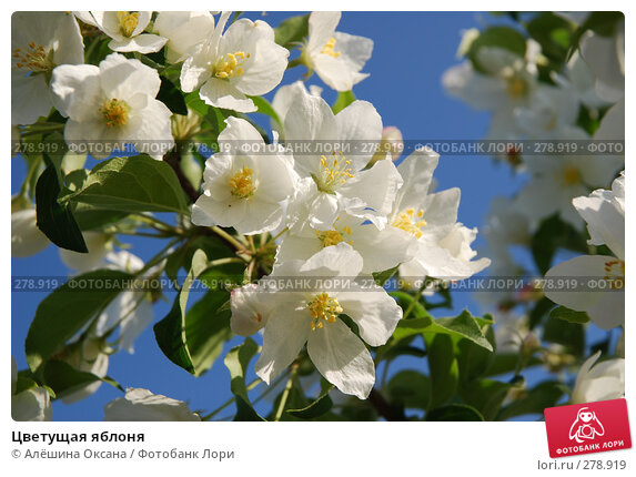 Цветущая яблоня, эксклюзивное фото № 278919, снято 8 мая 2008 г. (c) Алёшина Оксана / Фотобанк Лори