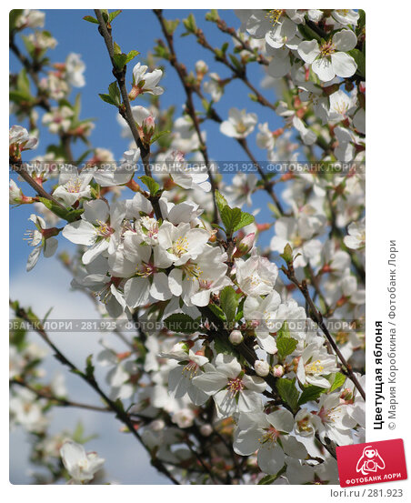 Купить «Цветущая яблоня», фото № 281923, снято 26 апреля 2008 г. (c) Мария Коробкина / Фотобанк Лори