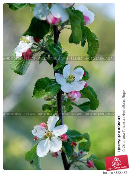 Цветущая яблоня, фото № 322487, снято 16 мая 2008 г. (c) Смыгина Татьяна / Фотобанк Лори