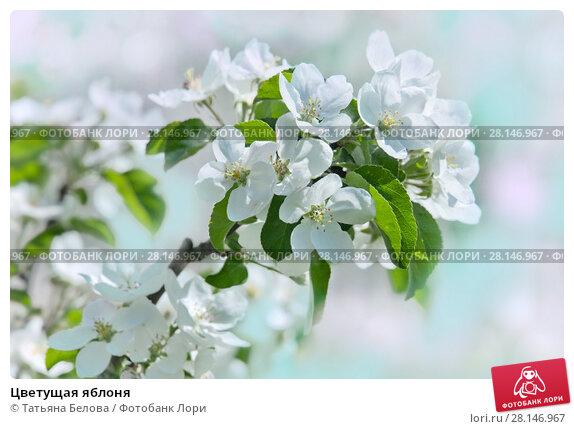 Купить «Цветущая яблоня», фото № 28146967, снято 24 мая 2017 г. (c) Татьяна Белова / Фотобанк Лори