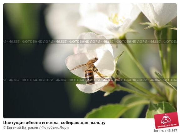 Цветущая яблоня и пчела, собирающая пыльцу, фото № 46867, снято 18 мая 2007 г. (c) Евгений Батраков / Фотобанк Лори
