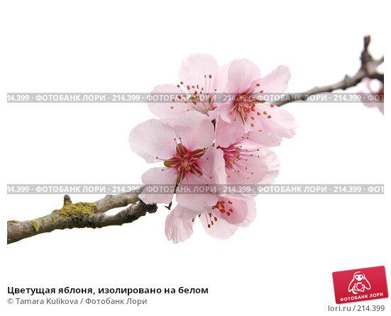 Цветущая яблоня, изолировано на белом, фото № 214399, снято 2 марта 2008 г. (c) Tamara Kulikova / Фотобанк Лори