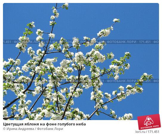 Цветущая яблоня на фоне голубого неба, фото № 171451, снято 22 мая 2007 г. (c) Ирина Андреева / Фотобанк Лори