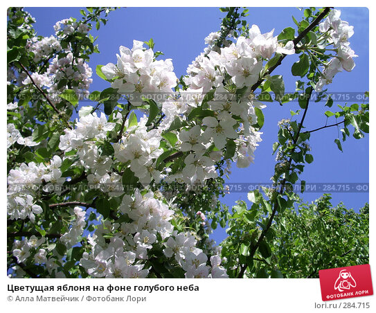 Цветущая яблоня на фоне голубого неба, фото № 284715, снято 14 мая 2008 г. (c) Алла Матвейчик / Фотобанк Лори
