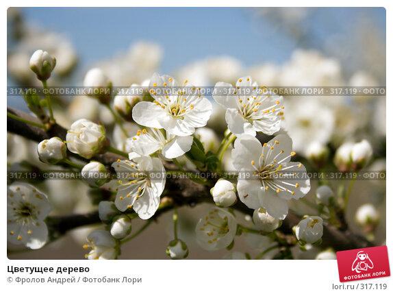 Купить «Цветущее дерево», фото № 317119, снято 27 марта 2008 г. (c) Фролов Андрей / Фотобанк Лори