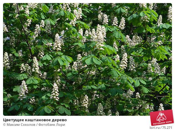 Цветущее каштановое дерево, фото № 75271, снято 29 мая 2007 г. (c) Максим Соколов / Фотобанк Лори