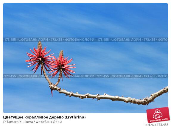 Цветущее коралловое дерево (Erythrina), фото № 173455, снято 2 января 2008 г. (c) Tamara Kulikova / Фотобанк Лори