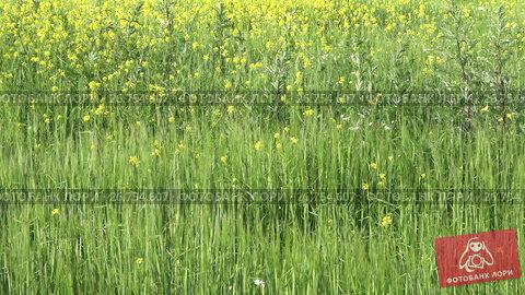 Цветущее рапсовое поле июльским днем, видеоролик № 26754607, снято 17 июля 2017 г. (c) Виктор Карасев / Фотобанк Лори