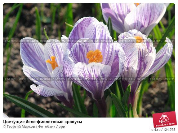 Цветущие бело-фиолетовые крокусы, фото № 124975, снято 1 мая 2006 г. (c) Георгий Марков / Фотобанк Лори