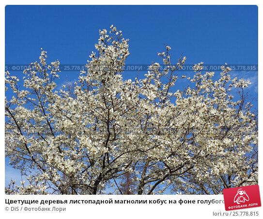 Купить «Цветущие деревья листопадной магнолии кобус на фоне голубого неба», фото № 25778815, снято 12 марта 2017 г. (c) DiS / Фотобанк Лори