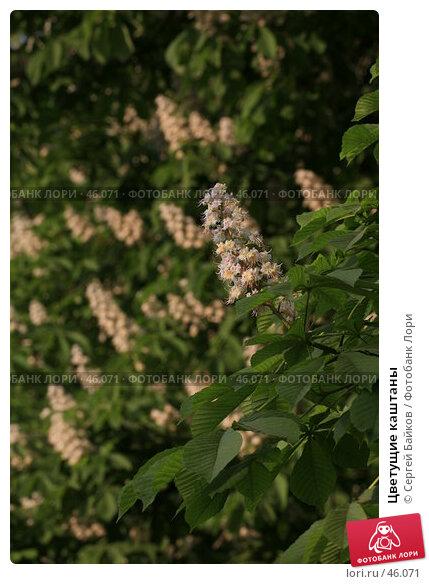 Цветущие каштаны, фото № 46071, снято 24 мая 2007 г. (c) Сергей Байков / Фотобанк Лори