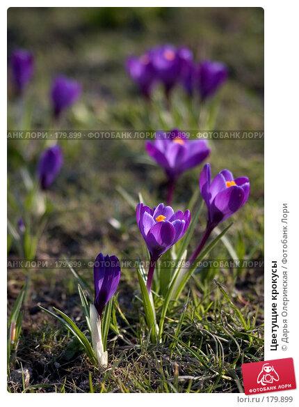 Купить «Цветущие крокусы», фото № 179899, снято 21 марта 2007 г. (c) Дарья Олеринская / Фотобанк Лори