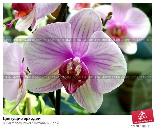 Купить «Цветущие орхидеи», фото № 101119, снято 20 ноября 2004 г. (c) Parmenov Pavel / Фотобанк Лори