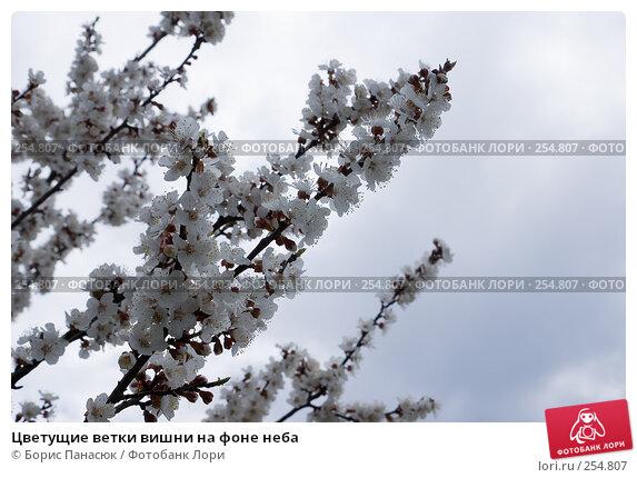 Цветущие ветки вишни на фоне неба, фото № 254807, снято 11 апреля 2008 г. (c) Борис Панасюк / Фотобанк Лори
