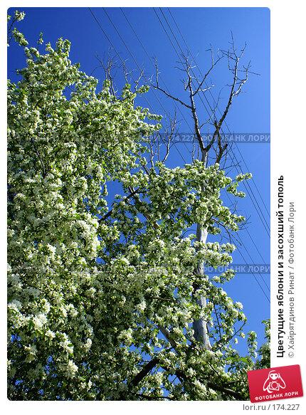Купить «Цветущие яблони и засохший тополь», фото № 174227, снято 21 мая 2007 г. (c) Хайрятдинов Ринат / Фотобанк Лори