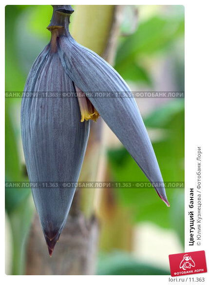 Купить «Цветущий  банан», фото № 11363, снято 23 марта 2018 г. (c) Юлия Кузнецова / Фотобанк Лори