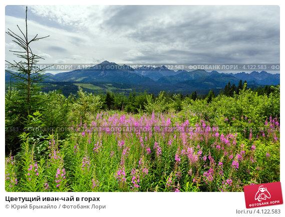 Купить «Цветущий иван-чай в горах», фото № 4122583, снято 13 июля 2012 г. (c) Юрий Брыкайло / Фотобанк Лори