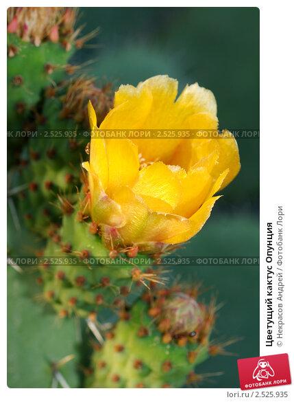 Купить «Цветущий кактус Опунция», фото № 2525935, снято 4 мая 2011 г. (c) Некрасов Андрей / Фотобанк Лори