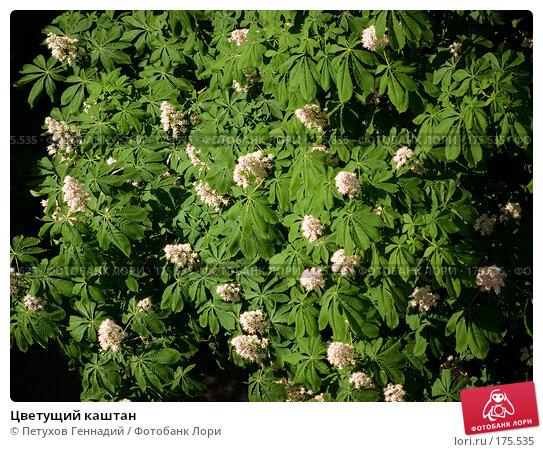 Купить «Цветущий каштан», фото № 175535, снято 26 мая 2007 г. (c) Петухов Геннадий / Фотобанк Лори
