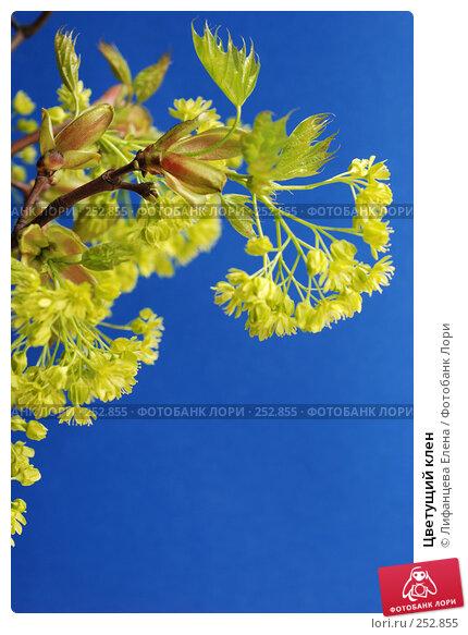 Цветущий клен, фото № 252855, снято 14 апреля 2008 г. (c) Лифанцева Елена / Фотобанк Лори
