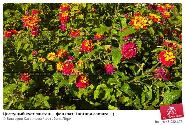 Купить «Цветущий куст лантаны, фон (лат. Lantana camara L.)», фото № 3982627, снято 23 сентября 2012 г. (c) Виктория Катьянова / Фотобанк Лори