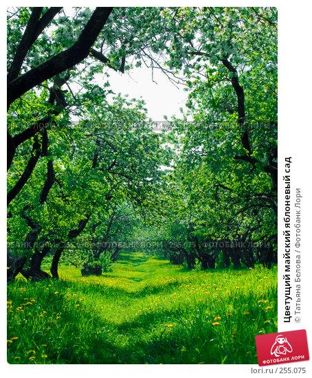 Цветущий майский яблоневый сад, фото № 255075, снято 19 мая 2007 г. (c) Татьяна Белова / Фотобанк Лори