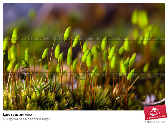 Цветущий мох, фото № 55123, снято 2 мая 2007 г. (c) Argument / Фотобанк Лори