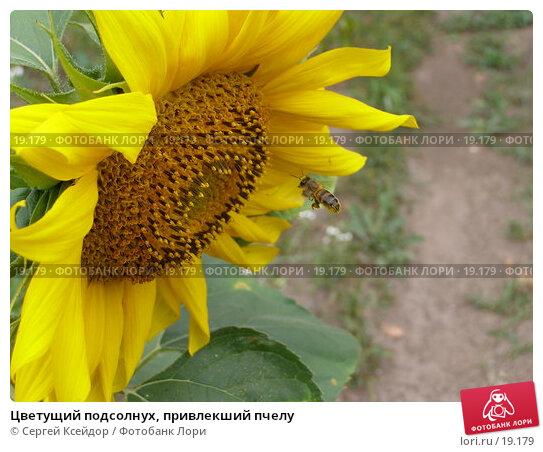 Цветущий подсолнух, привлекший пчелу, фото № 19179, снято 19 июля 2006 г. (c) Сергей Ксейдор / Фотобанк Лори
