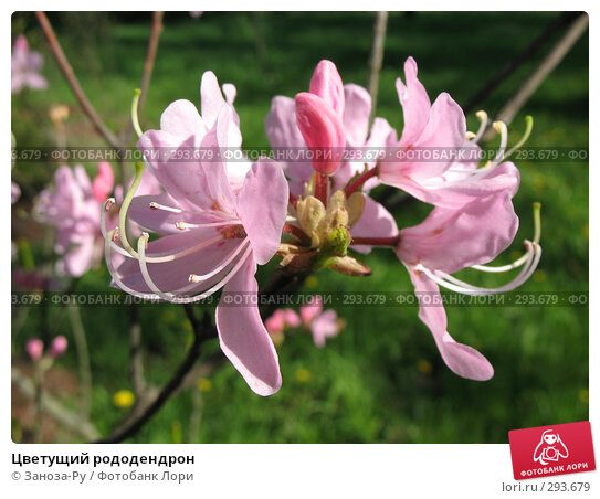 Цветущий рододендрон, фото № 293679, снято 17 мая 2008 г. (c) Заноза-Ру / Фотобанк Лори