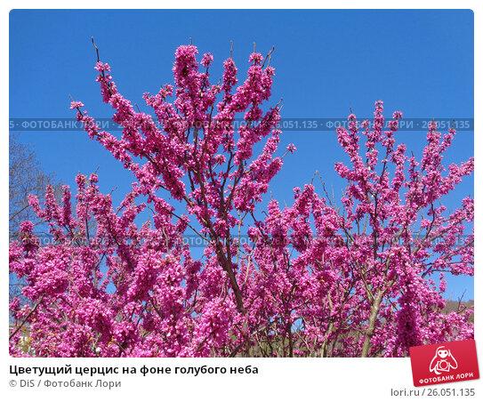 Купить «Цветущий церцис на фоне голубого неба», фото № 26051135, снято 4 апреля 2017 г. (c) DiS / Фотобанк Лори