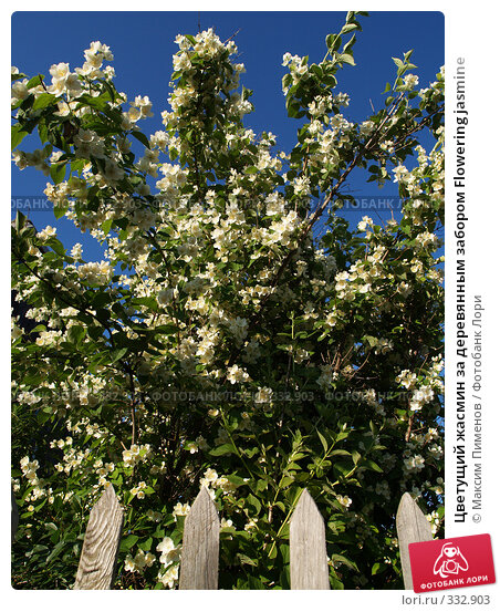 Цветущий жасмин за деревянным забором Flowering jasmine, фото № 332903, снято 28 июня 2006 г. (c) Максим Пименов / Фотобанк Лори