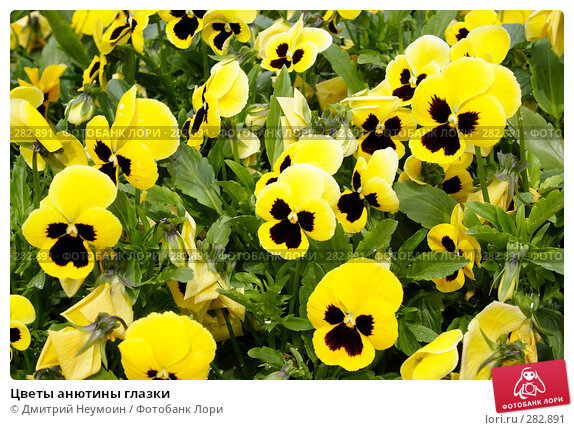 Цветы анютины глазки, эксклюзивное фото № 282891, снято 20 апреля 2008 г. (c) Дмитрий Неумоин / Фотобанк Лори