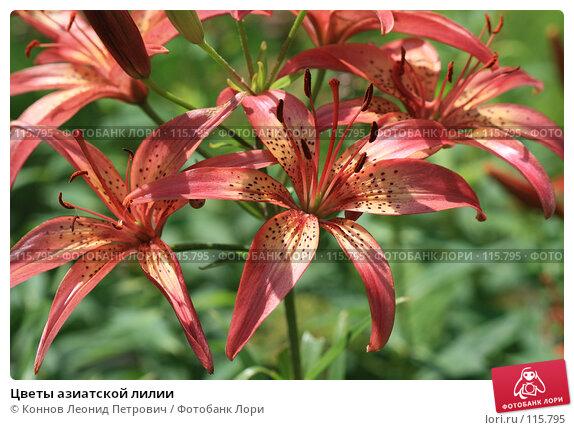 Купить «Цветы азиатской лилии», фото № 115795, снято 15 июля 2007 г. (c) Коннов Леонид Петрович / Фотобанк Лори