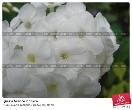 Цветы белого флокса, фото № 7183, снято 29 июля 2006 г. (c) Минакова Татьяна / Фотобанк Лори