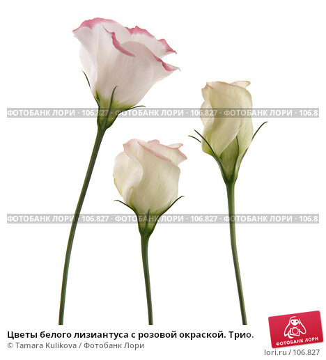 Цветы белого лизиантуса с розовой окраской. Трио., фото № 106827, снято 29 октября 2007 г. (c) Tamara Kulikova / Фотобанк Лори