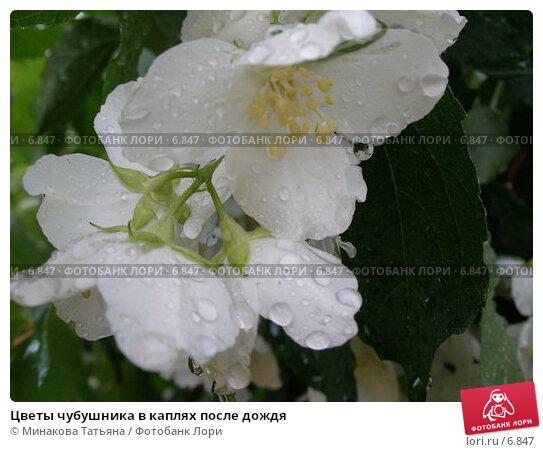 Купить «Цветы чубушника в каплях после дождя», фото № 6847, снято 17 июня 2006 г. (c) Минакова Татьяна / Фотобанк Лори