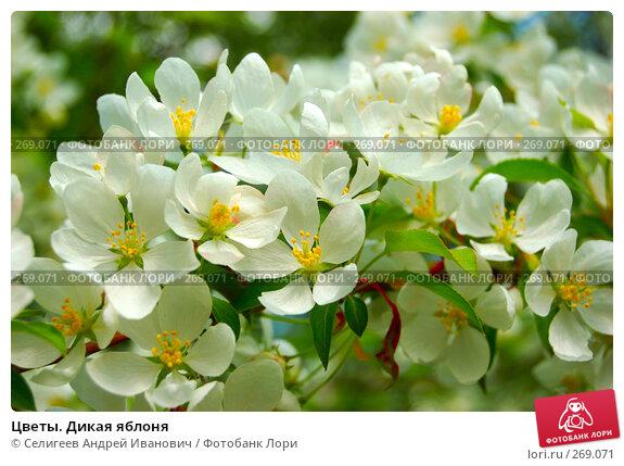Цветы. Дикая яблоня, фото № 269071, снято 2 июня 2006 г. (c) Селигеев Андрей Иванович / Фотобанк Лори
