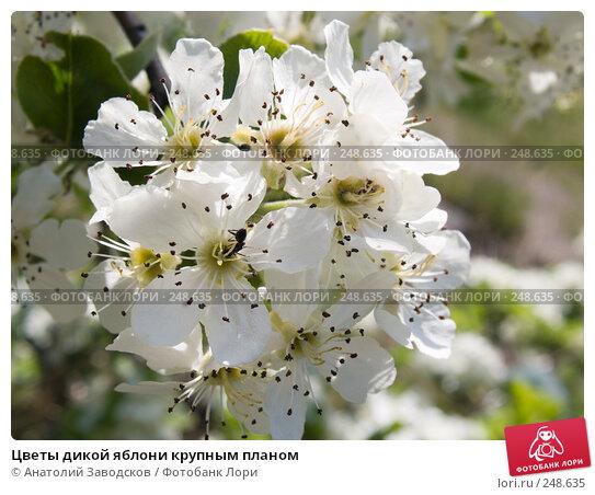 Цветы дикой яблони крупным планом, фото № 248635, снято 4 мая 2007 г. (c) Анатолий Заводсков / Фотобанк Лори