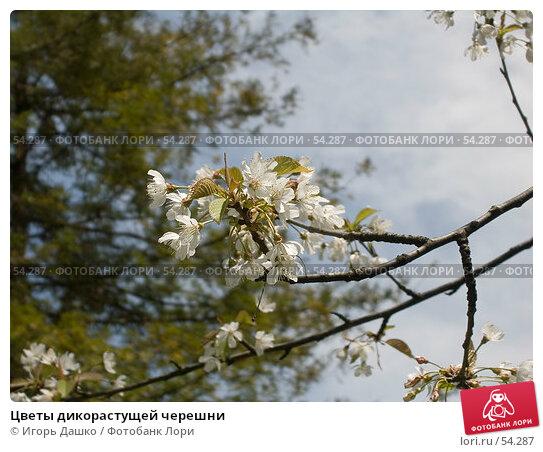 Купить «Цветы дикорастущей черешни», фото № 54287, снято 23 апреля 2007 г. (c) Игорь Дашко / Фотобанк Лори