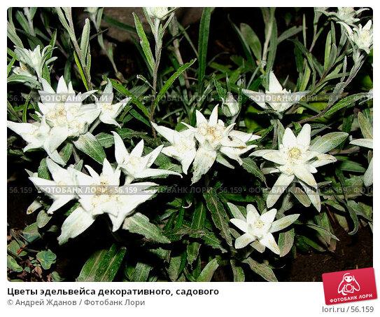 Цветы эдельвейса декоративного, садового, фото № 56159, снято 23 июня 2007 г. (c) Андрей Жданов / Фотобанк Лори