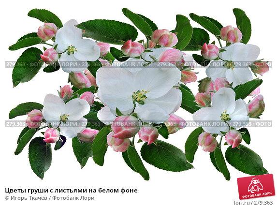 Цветы груши с листьями на белом фоне, фото № 279363, снято 22 апреля 2008 г. (c) Игорь Ткачёв / Фотобанк Лори